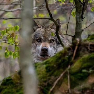 loup-sortie-naturaliste