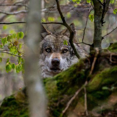 sortie naturaliste autour du loup par Marc Linares accompagnateur montagne Alpes de Haute Provence Hautes Terres de provence