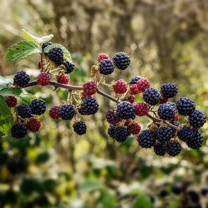 plantes sauvages comestibles alpes de haute provence