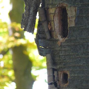 cavité dans un arbre faite par un pic noir